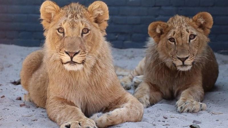 Така изглеждаха Терез и Масуд месеци след като бяха спасени от разградския зоокът